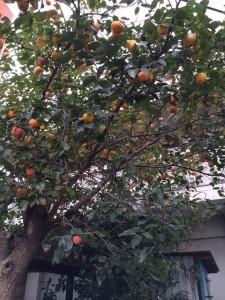 都丸洋服店の柿の木