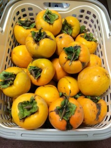 都丸洋服店で採った柿